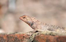 Free Camouflaged Garden Lizard Stock Photo - 19887170