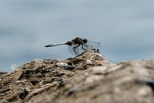 Free Dragonfly On The Rocks Stock Image - 19887591