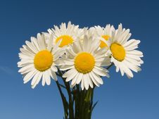 Free Bouquet Of Daisies Royalty Free Stock Image - 19888616