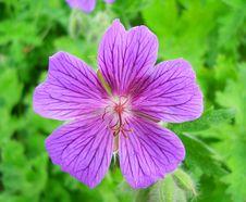 Free Isolate Violet Flower Macroshot Stock Photography - 19888762