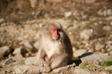 Free Snow Monkey Royalty Free Stock Photography - 19888887