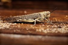 Free Grasshopper Royalty Free Stock Photography - 19889677