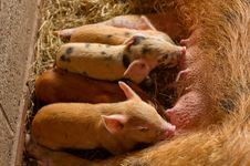 Free Baby Piglets Eating Royalty Free Stock Photography - 19889937