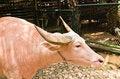Free An Albino Water Buffalo Stock Photography - 19891182