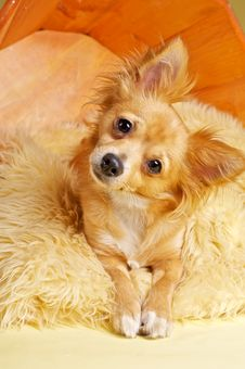 Free Chihuahua Stock Photography - 19890172