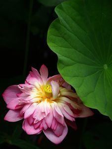 Free Lotus Stock Photos - 19890683