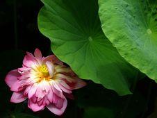 Free Lotus Royalty Free Stock Photos - 19890688