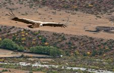 Vultures Royalty Free Stock Photo