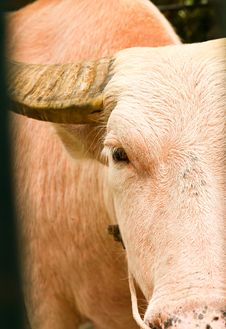 An Albino Water Buffalo Close-up Stock Photo