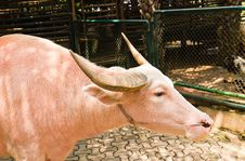 Free An Albino Water Buffalo Stock Photography - 19891182