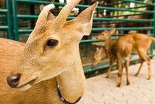 Free Deer Head Close-up1 Stock Image - 19891211