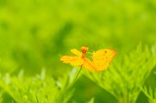 Free Butterfly On Yellow Flower Royalty Free Stock Photos - 19891978