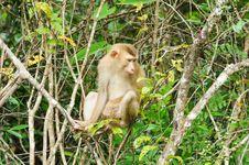 Monkey At Khao Yai National Park, Thailand Royalty Free Stock Image