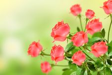 Free Rose Stock Photography - 19893982