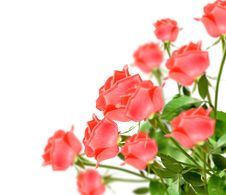 Free Rose Stock Images - 19894004