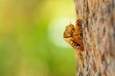 Free Cicada Exoskeleton Stock Image - 19894241