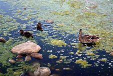 Free Marsh Ducks Royalty Free Stock Photography - 19897217