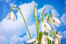 Free Spring White Snowdrop Nature Flower Plant Stock Photo - 19897700