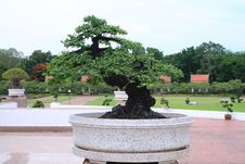 Free Green Bonsai Tree Royalty Free Stock Images - 19898739