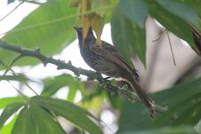 Free Bulbul Bird Royalty Free Stock Photo - 198989695