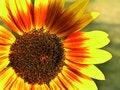 Free Brillant Sunflower Stock Photos - 1993603