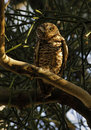 Free Burrowing Owl On The Tree Royalty Free Stock Images - 1998749