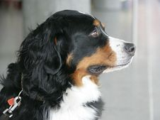 Free Nice Berner Dog 2 Stock Photography - 1992722