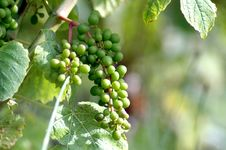 Free Green Grapes Stock Photo - 1992790