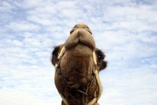 Free Camel Royalty Free Stock Photos - 1993058