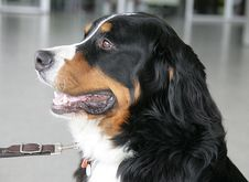 Free Nice Berner Dog 5 Royalty Free Stock Photography - 1993157