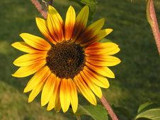 Free Golden Sunflower Stock Photography - 1993272