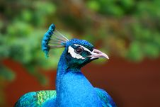 Free Peacock Royalty Free Stock Photo - 1994105
