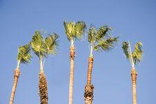Free Palm Tress Royalty Free Stock Photos - 1994648