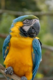 Blue And Yellow Macaw Parrot (44) Royalty Free Stock Photography