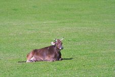 Free Big Cow Stock Photo - 1996690