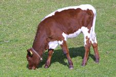 Free Little Cow Royalty Free Stock Photo - 1996695