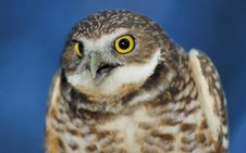 Free Burrowing Owl (portrait) Royalty Free Stock Photography - 1998637
