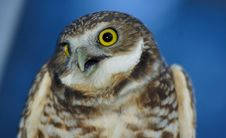 Free Burrowing Owl (portrait_3) Royalty Free Stock Photo - 1998695