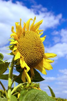 Free Sunflower Royalty Free Stock Photo - 1999215