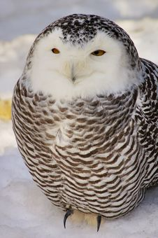 Free Snowy Owl (female) Royalty Free Stock Photo - 1999565
