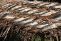 Free Fish Drying In The Sun Royalty Free Stock Photo - 19902095