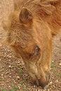 Free Bactrian Camel Stock Image - 19902341