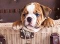 Free Puppy English Bulldog Royalty Free Stock Image - 19904186