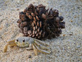 Free Sand Crab And Pine Cone Stock Photography - 19906602
