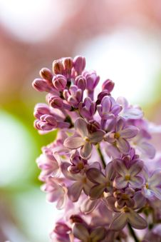 Bunch Of Violet Fragrant Pink Lilac Royalty Free Stock Photos