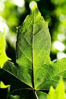 Free Leaf Of Maple Stock Photos - 19900943