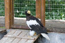 Free Steller S Sea Eagle (Haliaeetus Pelagicus) Stock Image - 19901021
