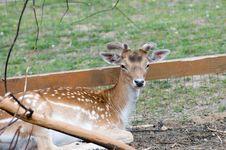 Free Fallow Deer (Dama Dama). Male Royalty Free Stock Photography - 19901137
