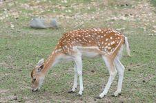 Free Fallow Deer (Dama Dama) Royalty Free Stock Photos - 19901218