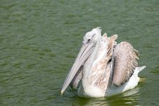 Free Dalmatian Pelican (Pelecanus Crispus) Royalty Free Stock Images - 19901279